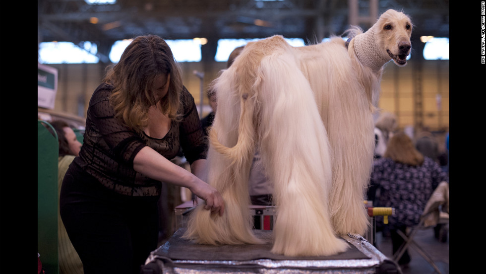 An Afghan hound is groomed.
