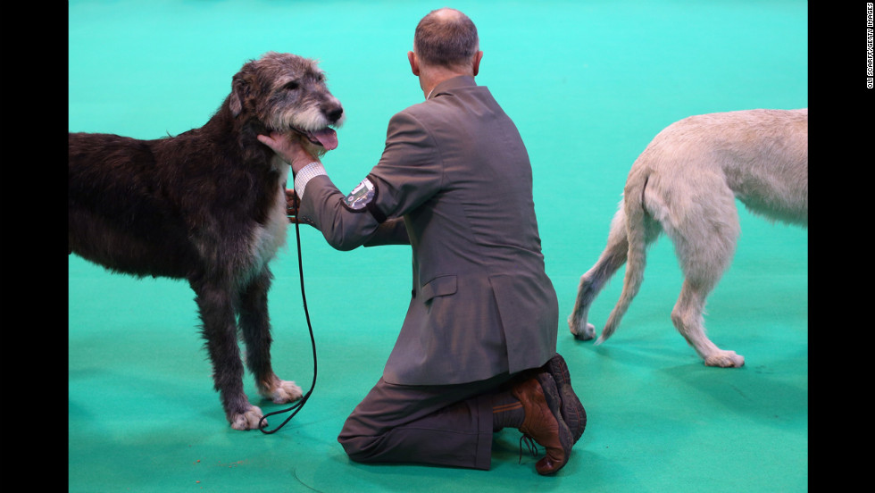 Irish wolfhounds are shown on the competition floor.