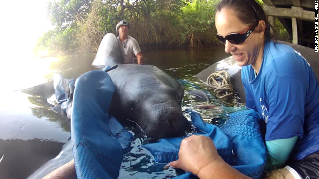 Florida grapples with manatee deaths