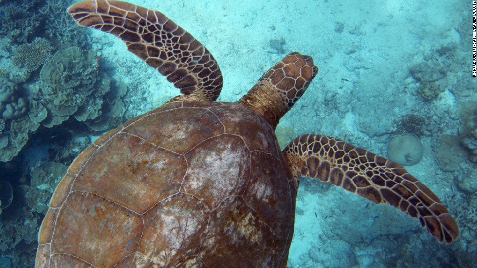 A turtle swims through a reef off the coast of Heron Island, a coral cay that is home to one of the world's most important coral reef research stations.