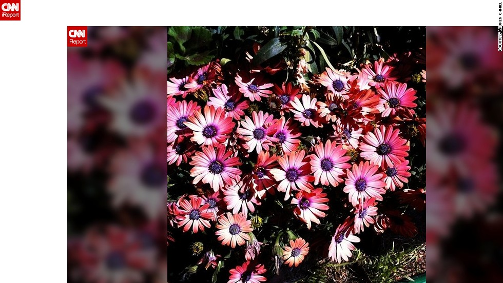 "<a href=""http://ireport.cnn.com/docs/DOC-945108"">Lauren Chmiel</a> from Las Vegas doesn't have to go far to enjoy the sight of blooming flowers. She captured these pink daisies in her backyard."