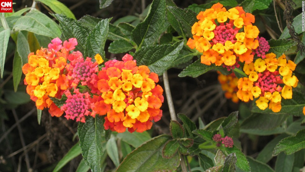 """The sweetest smelling blossoms"" of the orange tree tantalized <a href=""http://ireport.cnn.com/docs/DOC-945243"">Kathi Cordsen</a> as she walked through her backyard on the first day of spring, she said. Nearby in her garden is a lantana bush, seen here."