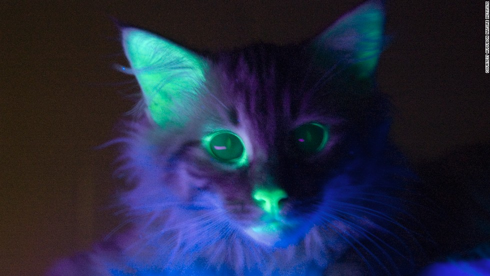... But when the lights are out, the cat glows under an ultraviolet light thanks to a fluorescence gene in his cells.