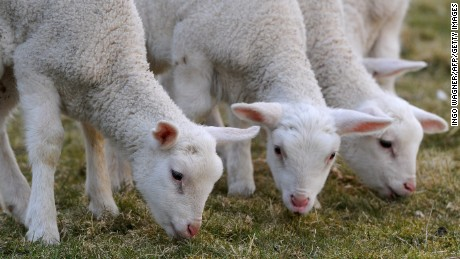 Four Easter lambs eat grass on a field at a farm in Ihlow, northern Germany, on March 26,  2013. The little lambs were born two weeks ago.In Christian theology, the lamb is a symbol to embody the Agnus Dei (Lamb of God), referring to the resurrection of Jesus Christ.