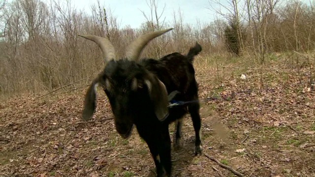 pkg woman calls 911 screaming goat_00012910.jpg