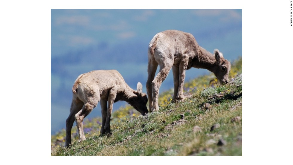 Bighorn sheep give birth to their lambs in May and June, and hikers on the Mount Washburn trail in Yellowstone can sometimes spot lambs along the way.