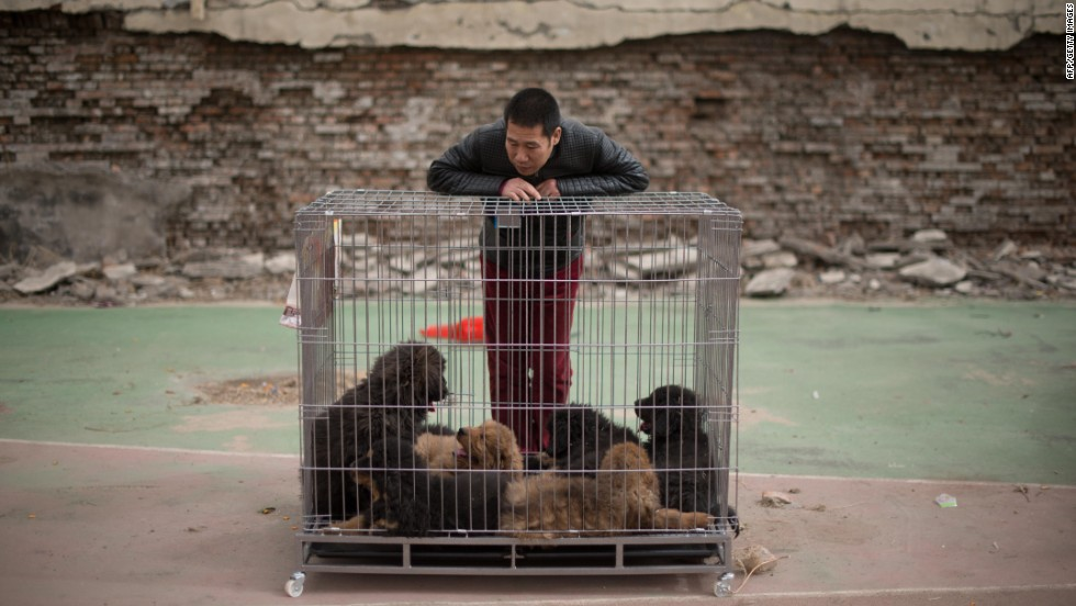 A vendor stands with his Tibetan mastiff puppies displayed for sale at a mastiff show in Baoding, Hebei province, south of Beijing. Hong Kong has strict laws on the importation of dogs from mainland China, requiring four months quarantine.