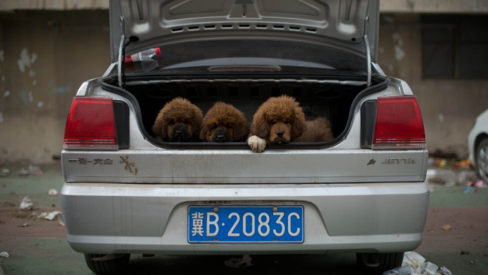 Tibetan mastiff puppies are displayed for sale at a mastiff show in Baoding, Hebei province, south of Beijing. Fetching prices around $US750,000, mastiffs have become a prized status-symbol among China's wealthy.