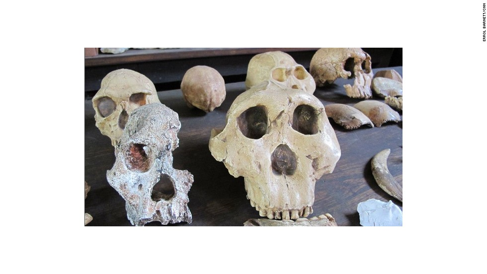The skulls of ancient walking hominids found in South Africa.