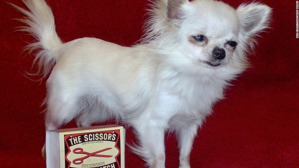 Danka Kordak, a chihuahua bitch owned by Igor Kvetko, holds the Guinness World Record as the smallest dog in the world. Danka is 19 centimeters long, only 13 centimeters tall and weighs 780 grammes. Picture taken on September 8, 2004 in Revuca, Slovakia.