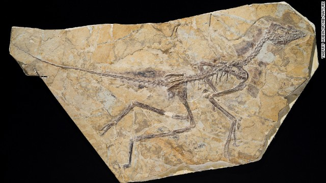 This is the skeleton of the newly discovered dinosaur, which is about 150 million years old.