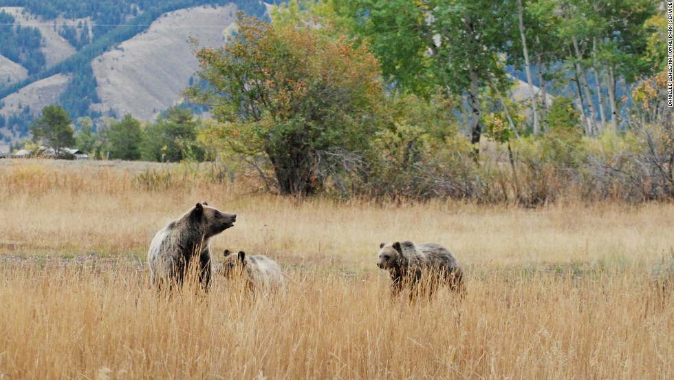 Grand Teton National Park in Wyoming, which came in eighth, is home to grizzly bears (shown here), black bears and other wild animals.