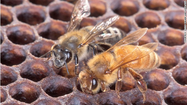 An Africanized honeybee (left) and a European honeybee on honeycomb. Despite color differences between these two bees, normally they can't be identified by eye. Photo by Scott Bauer.