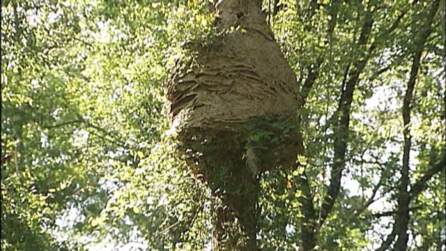 Hornet's nest the size of a Volkswagen