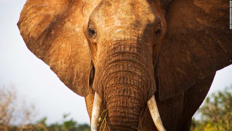 An elephant is pictured in  southern Kenya. Wildlife protection groups say the number of African elephants killed for their tusks is the highest in decades, in part because of increasing prosperity and demand for ivory in China.