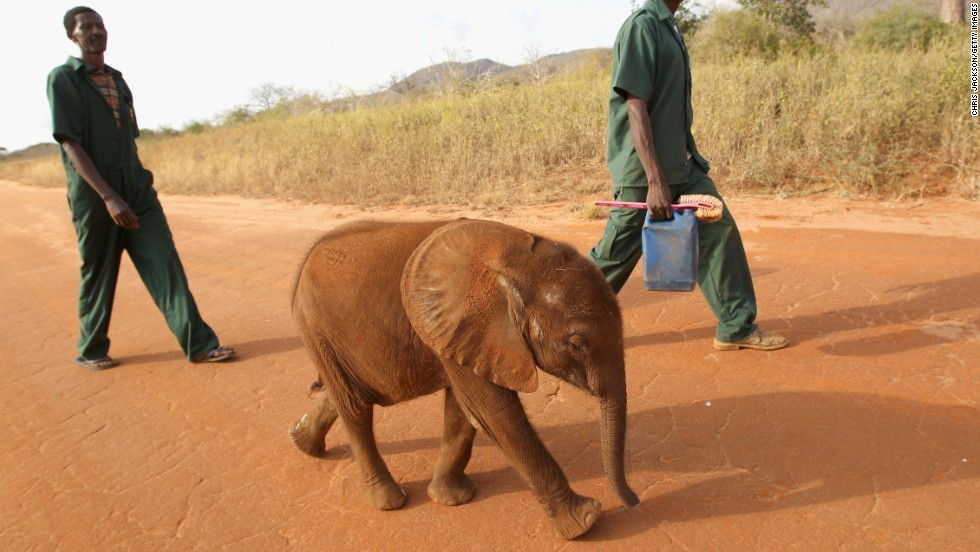 """The less elephants there are, the more the price rises; the more the price rises, the more people want to kill them. And this is an ever ongoing circle,"" says Millar. Pictured: a young orphaned elephant is taken for a walk at Tony Fitzjohn's Mkomazi rhino sanctury in Mkomazi, Tanzania in June 2012."