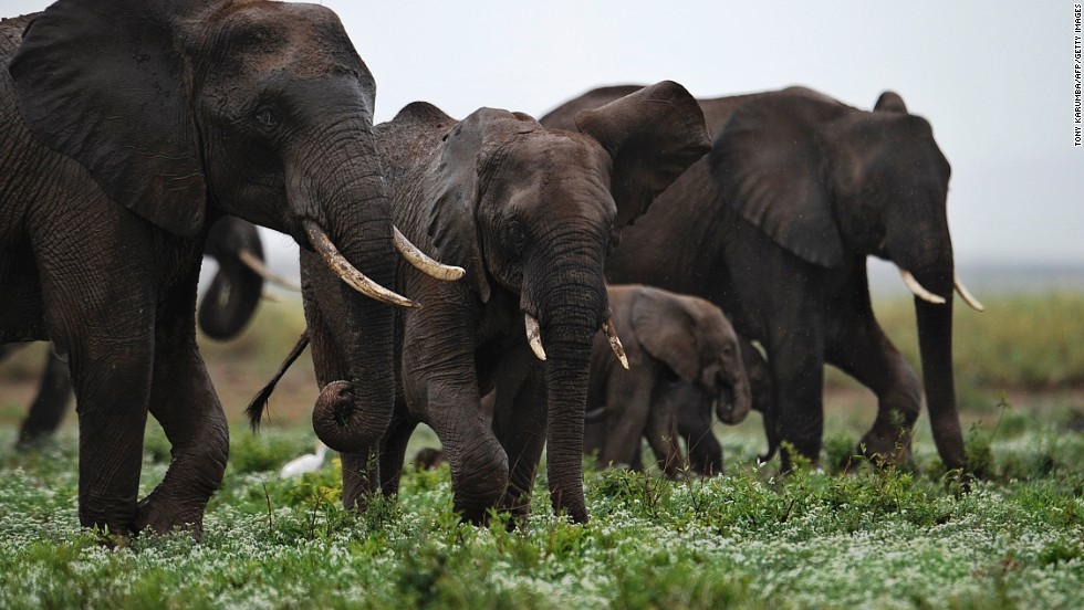 Elephants travel together at the Amboseli Game Reserve, about 200 miles outside Nairobi, Kenya.
