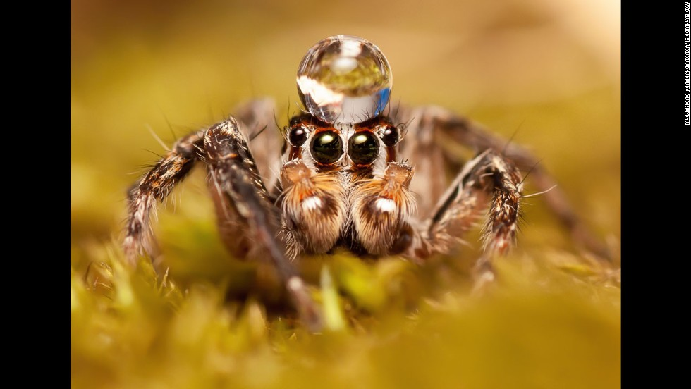 "Jumping spiders are known to ""dance"" for their mates, performing a complex, zigzagging flamenco-like dance to entice the females.  Not only do they make moves, they actually make a rhythmic vibrating song using their body movements."