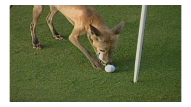 Fox steals golf balls from backyard