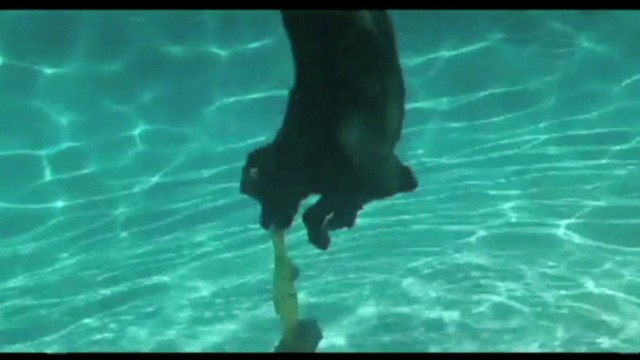 Bunny the lab can play fetch underwater!