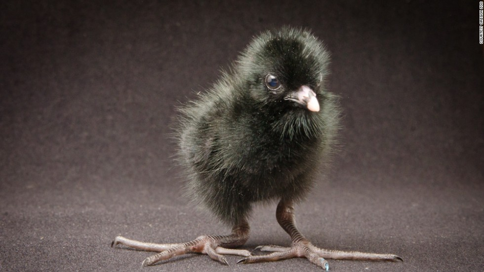 Four black crakes, which are native to sub-Saharan Africa, hatched at the Oregon Zoo on July 8, 2013.