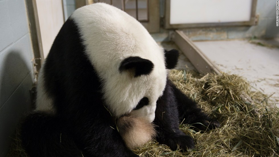 Giant panda Lun Lun shortly after giving birth to twins at Zoo Atlanta on July 15, 2013. The 15-year-old giant panda was caring for one of her cubs but was not letting the photographer see it.