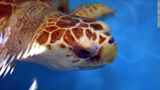 Caton the sea turtle has found a new home at Sea World Orlando.