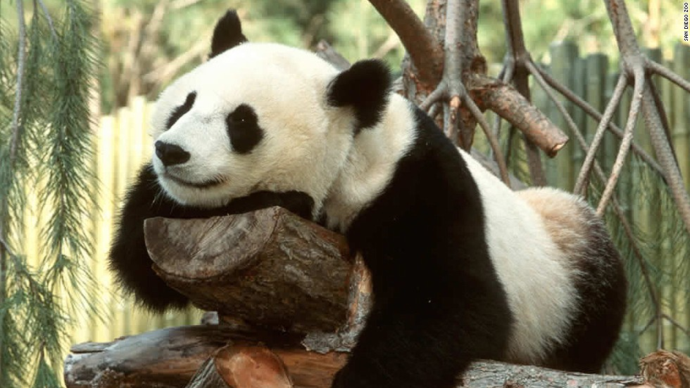 Giant pandas are one of the chief attractions at the San Diego Zoo, which TripAdvisor readers named the #2 zoo in the world. The zoo also recently welcomed a newborn baby gorilla.