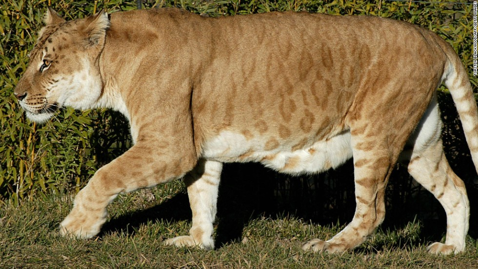 "One of Australia's only two ""tigons,"" a manmade hybrid created by crossing a male tiger with a lioness, prowls at the National Zoo in Canberra on July 4, 2004. Bearing the stripes of a tiger and the physique of a lioness, tigons are usually infertile."