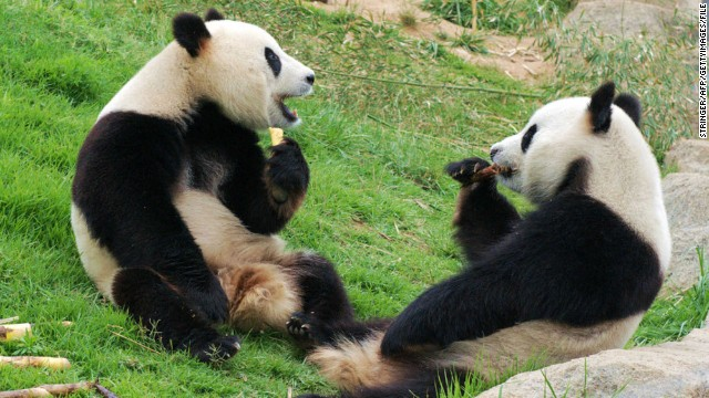 Pandas enjoy a meal of bamboo shoots at the Chengdu Research Base of Giant Panda Breeding on June 24, 2012.