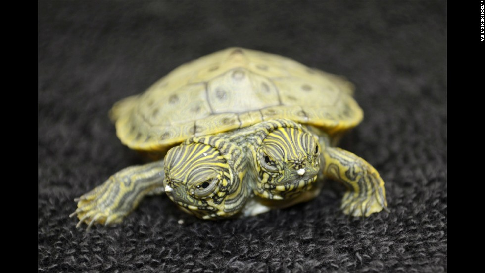 "Thelma and Louise, a two-headed Texas cooter turtle, was born at the San Antonio Zoo on July 18 and has already gained a sturdy fan base. After creating a Facebook page for the pair, the zoo staff saw ""such tremendous outpouring of support by our fans that we had to update our page from a personal page to <a href=""https://www.facebook.com/thelmaandlouise.turtle"" target=""_blank"">celebrity status page</a>."" Here's a look at other two-headed animals you might have missed."