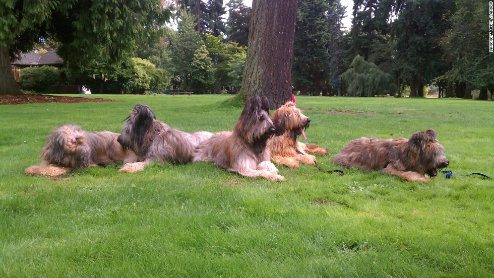 A family of French sheepdogs relaxed together in Georgia.