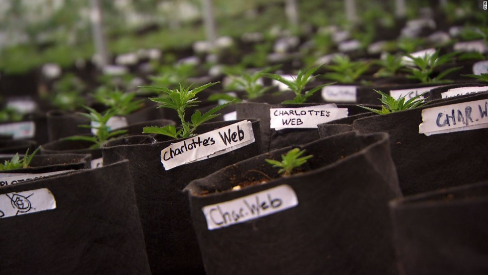 The marijuana strain Charlotte and others use to help their symptoms has been named after her. It's called Charlotte's Web.