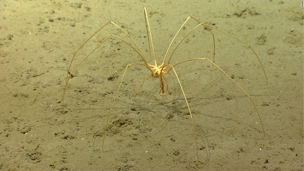 Sea spiders have muscles so small that they are only a single cell surrounded by connective tissue.