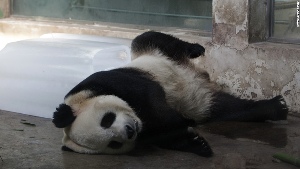 A giant panda lies next to a block of ice to cool off at the Wuhan Zoo in China's Hubei province on Wednesday, August 7, as temperatures soar above 100 degrees Fahrenheit.