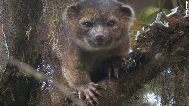 The Smithsonian announced a species called the olinguito.