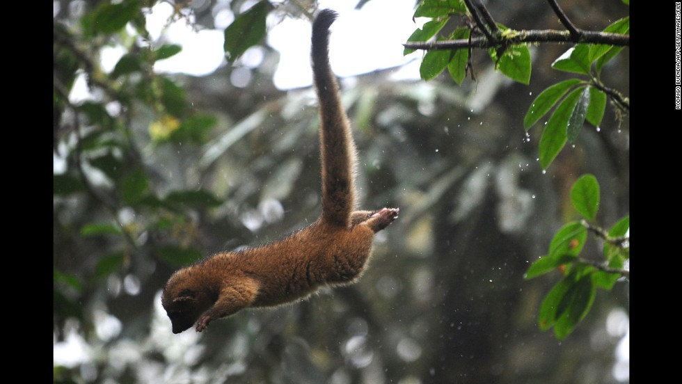 Both the olingo -- shown here -- and the olinguito live in trees.