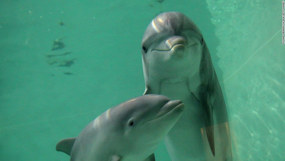 "Images of <a href=""http://edition.cnn.com/2014/01/20/world/asia/japan-dolphin-hunt/"">bottlenose dolphins being herded</a> into Japan's Taiji Cove sparked outrage among international conservation groups last month. Some of the animals were selected to be sold into captivity, while others to be killed for meat. But many in Japan defend the practice as a local custom, and claim Western critics who eat other meat are hypocritical."
