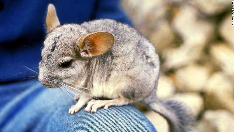 Chinchillas aren't morning rodents, perhaps accounting for the shy, downcast eyes. (Body-to-paw ratio: Cute)