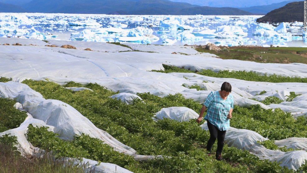 Arnaq Egede works among the plants in her family's potato farm on July 31 in Qaqortoq. The farm, the largest in Greenland, has seen an extended crop-growing season because of climate change.