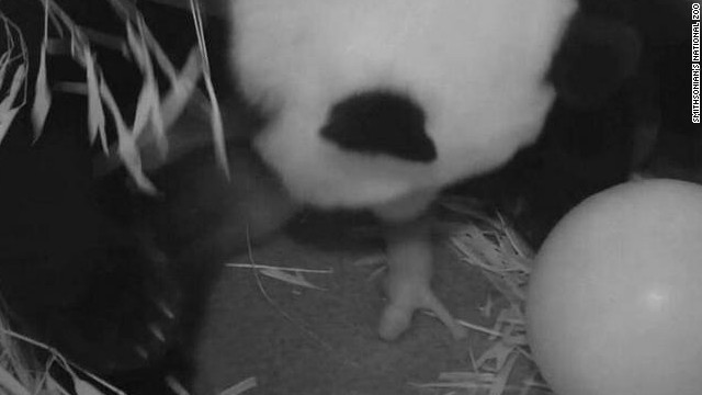 Panda gives birth to cub at National Zoo