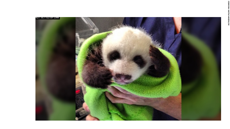 "It's a panda in a blanket! Panda ""A"" has darker markings and a narrower band. That's one way the zoo can tell the twins apart."