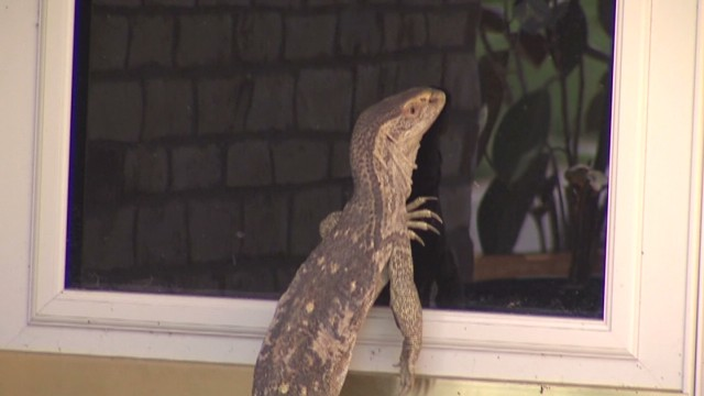 vosot exotic lizard on the loose_00000409.jpg