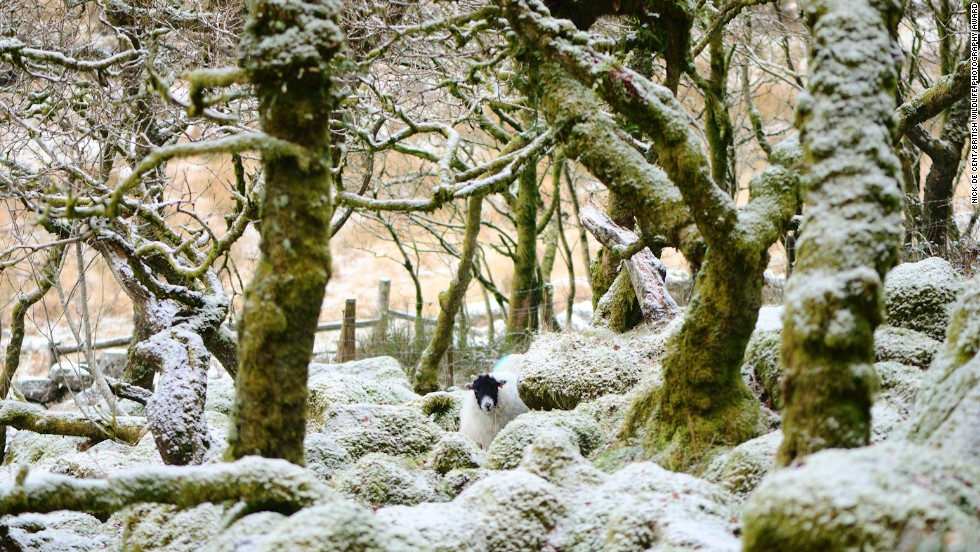 """Unexpected Encounter: Woolly Interloper in Wistman's Wood"" -- Wistman's Wood, Dartmoor, Devon, England. Photograph by Nick de Cent."