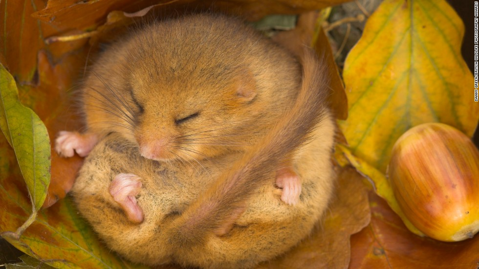 """Dormouse Hibernating""  -- dormouse, Paignton, Devon. Photograph by Danny Green. Highly commended in the category wild woods."