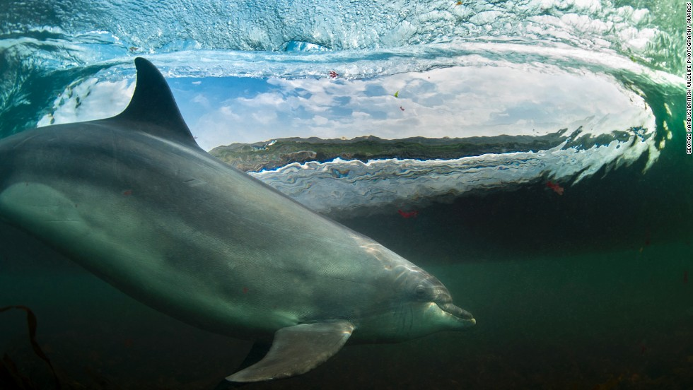 """In The Living Room"" -- bottlenose dolphin, Bolintoy, near The Giant's Causeway, Northern Ireland. Photograph by George Karbus. Overall winner."