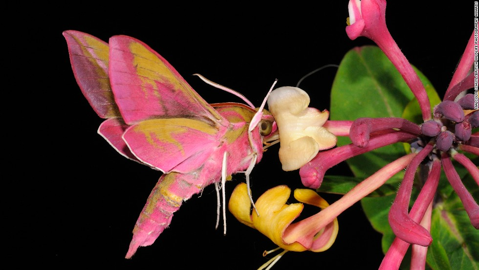 """Elephant Hawkmoth Drinking Nectar from Wild Honeysuckle Flower at Night""  -- elephant hawkmoth, Ewelme, Oxfordshire. Photograph by Malcolm Schuyl, shown in the category hidden Britain."