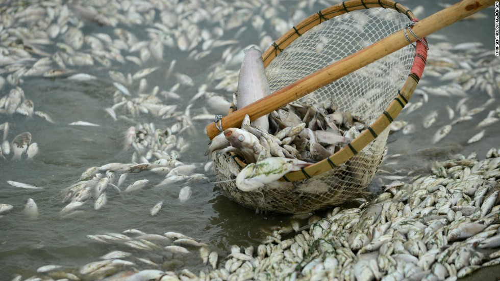 Dead fish are cleared from the Fuhe River in central China's Hubei province on Tuesday, September 3. Officials believe that the fish were poisoned by high levels of ammonia discharged into the water from a chemical plant. The company has been ordered to suspend operations by provincial environmental authorities.