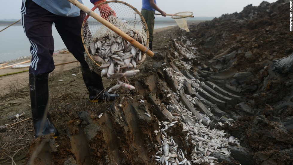 Two men bury dead fish September 3 to prevent them being sold at market.
