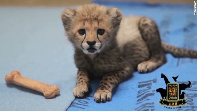 Dallas Zoo welcomes cheetah cubs